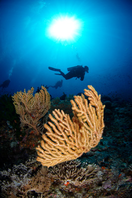 Diver and a Gorgonian Sea Fan