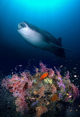 Whale Shark and Coral Reef Fish